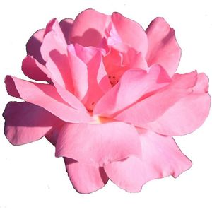 Mother of Groom with Pink Rose Flower design